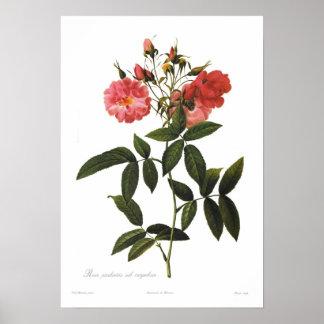Rosa palustris Vorcorymbosa Poster