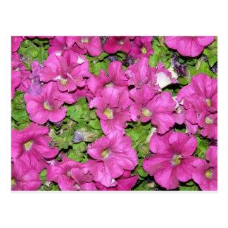 rosa Petunien Postkarte