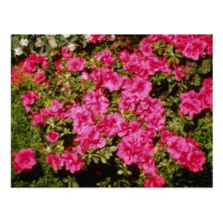 "Rosa Rhododendron Indicum ""Rosen"" (Azalee) Blumen Postkarte"