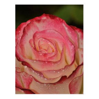 Rosa Rose des Singles Postkarte