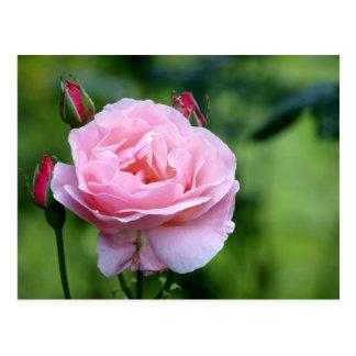 Rosa Rose in der vollen Blüte mit den Knospen Postkarte