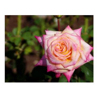Rosa Rose Postkarte