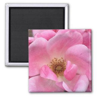 Rosa Rose Quadratischer Magnet