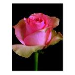 Rosa Rosen-Blüte Postkarten
