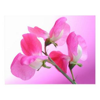 Rosa süße Erbse - Frühlings-Duft - Postkarte