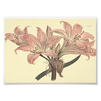 Rosa Tollkirschen-Lilien-botanische Illustration Photo Druck