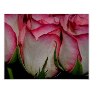 Rosa umrandete weiße Rosen Poster