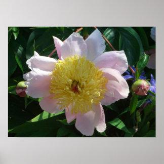 Rosa und gelbe Pfingstrosen-schöner Blumengarten Poster