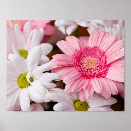 Rosa und weiße Gänseblümchen Plakatdruck