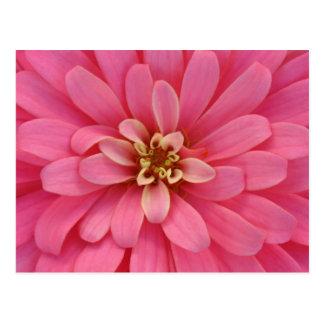 Rosa Zinnia-Blumen-Postkarte Postkarte