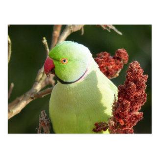 Rose-beringter Parakeet Postkarte
