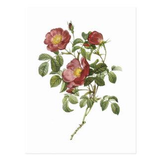 Rose der Liebe (Rosa pumila) durch Redouté Postkarte