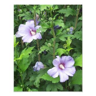Rose der Sharon-Hibiskus-Blumen Fotodruck
