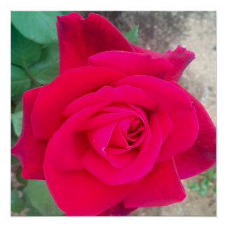 Rose durch Berühmtheit Ishah Laurah Poster