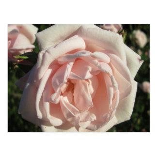 Rose hellrosa postkarte