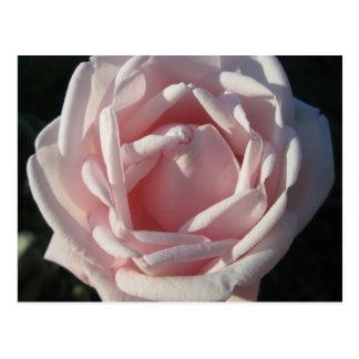 Rose rosa Sunlit Postkarte