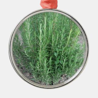 Rosemary-Pflanze im Garten. Toskana, Italien Silbernes Ornament