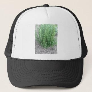 Rosemary-Pflanze im Garten. Toskana, Italien Truckerkappe