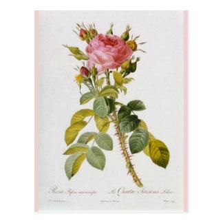 Rosen-botanischer Druck Rosa Bifera durch Redoute Postkarte