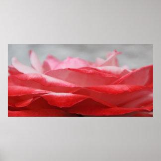 Rosenblüte Plakatdrucke