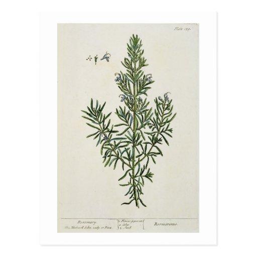 """Rosmarinus Officinalis, von """"einem neugierigen Krä Postkarte"""