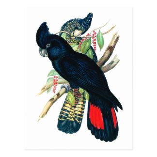 Rot angebunden, schwarze (Banksian) Cockatoos. Postkarte