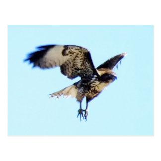 Rot-angebundene Falke-im Flug Gewohnheit Postkarte