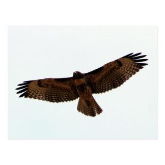 Rot-angebundener Falke im Flug, Humboldt County, Postkarte