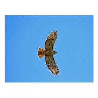 Rot-Angebundener Falke im Flug Postkarte