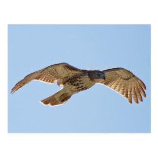 Rot angebundener Falke im Flug Postkarte