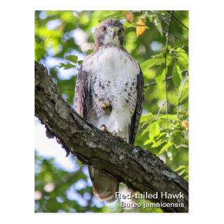Rot-angebundener Falke Postkarte
