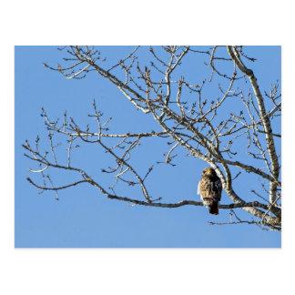 Rot angebundener Falke Postkarte