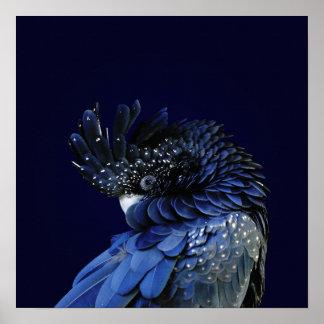 Rot-Angebundener schwarzer Cockatoo im Blau Poster