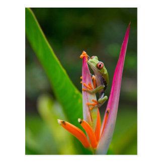 Rot-Auge Baumfrosch, Costa Rica 2 Postkarte