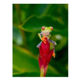 Rot-Auge Baumfrosch, Costa Rica Postkarte