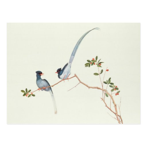 Rot-berechnete blaue Elster, Beeren eines Niederla Postkarten