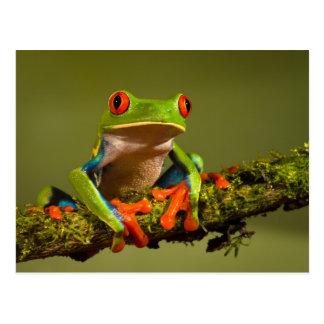 Rot-Mit Augen Baum-Frosch Postkarten