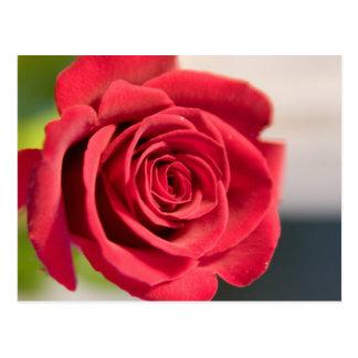 Rot, rot, Rose Postkarte