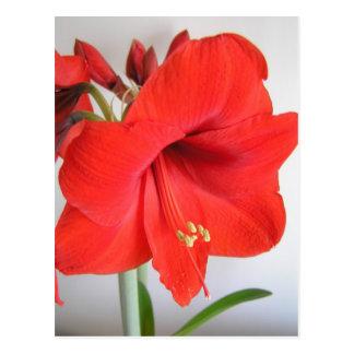 Rote Amaryllis Postkarte