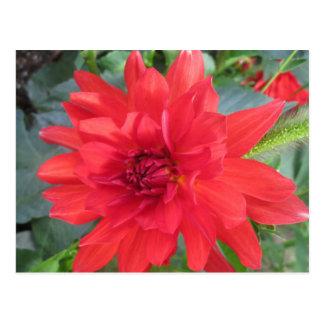 Rote Dahlie-Pflanze Postkarte