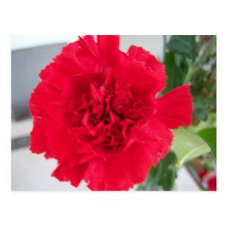 Rote Gartennelke Postkarten
