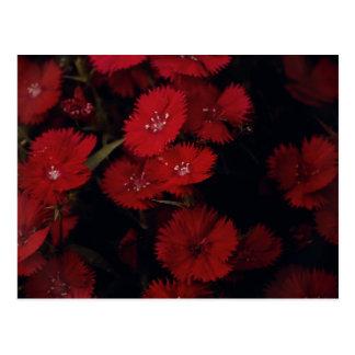 rote Gartennelken Postkarte