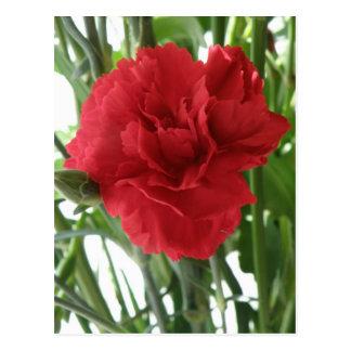 Rote Gartennelken-Postkarte
