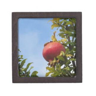 Rote Granatapfelfrucht des Singles auf dem Baum im Schachtel