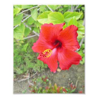 Rote Hibiskus-Gelbschande Fotodruck