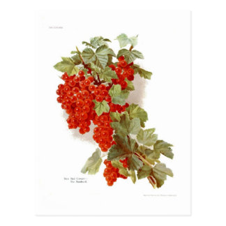 Rote Johannisbeere 'das Southwell Postkarte