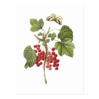 rote Johannisbeere (Ribes Rubrum) durch Redouté Postkarte