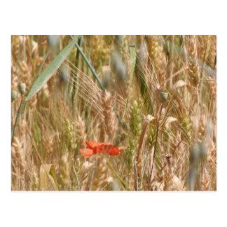 Rote Mohnblume in einer Gerstenfeldpostkarte Postkarte