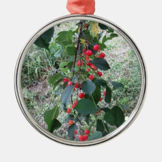 Rote Montmorency-Kirschen auf Baum im Kirschgarten Silbernes Ornament