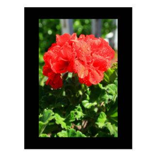 Rote Pelargonie-Blumen-Postkarte Postkarte